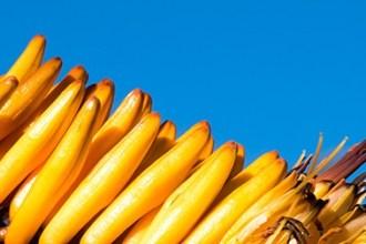 Plante jaune d'Afrique du Sud
