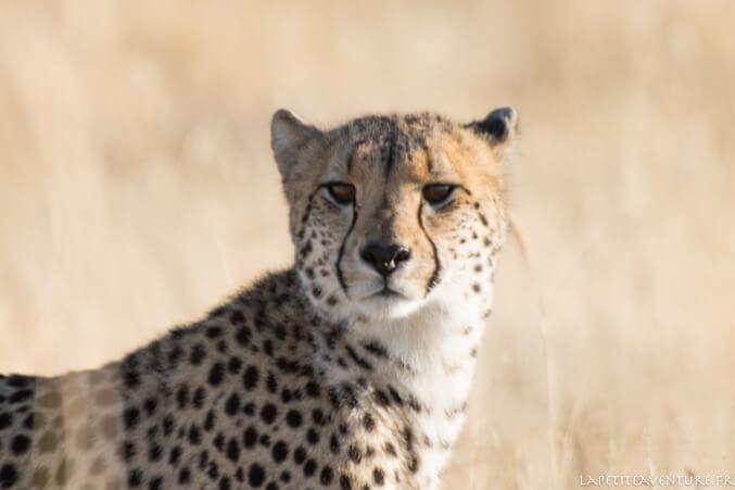 jeune guépard