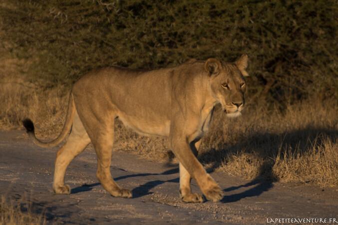 Lionne du kalahari
