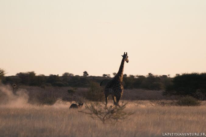 lionne chasse une girafe au botswana