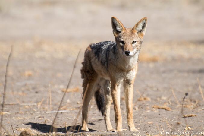 Chacal au Botswana