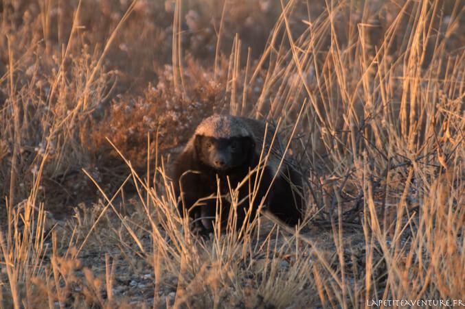 ratel du Kalahari