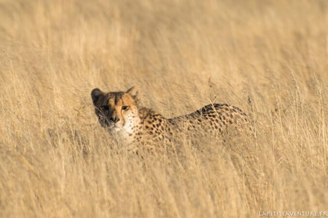 Femelle guépard