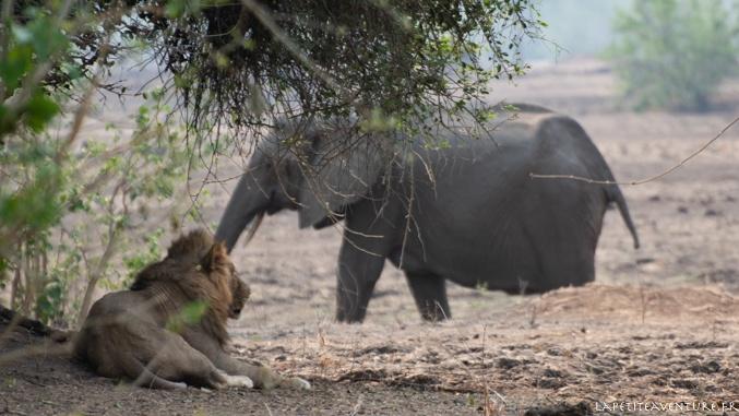 lion et éléphant à Mana Pools
