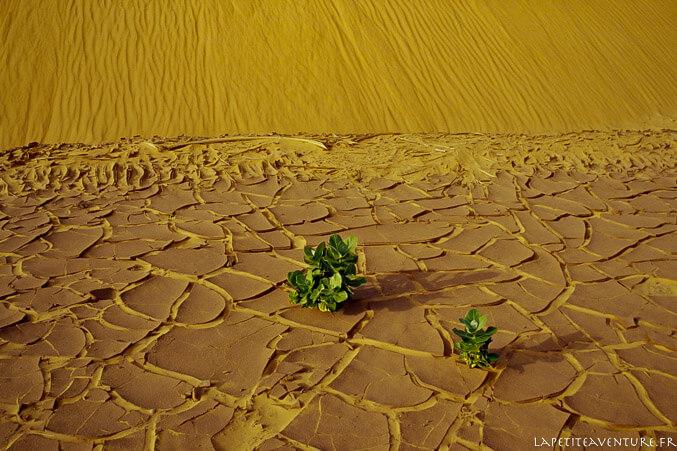 Euphorbes en Mauritanie