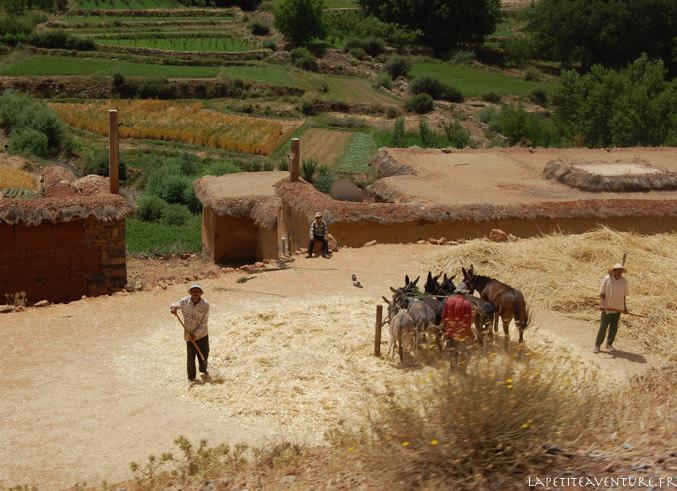 Battage avec les ânes au Maroc