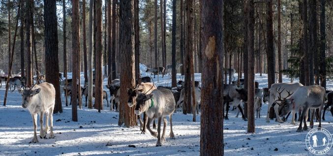 Troupeau de rennes en Suède