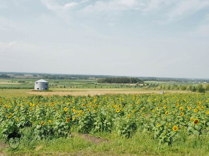 Alberta's Sunflower maze