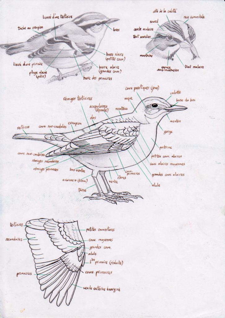 Anatomie des oiseaux dessinée et calligraphiée d'après la 3ème de couverture du guide ornitho Delachaux