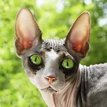 Донской сфинкс: все о кошке, фото, описание породы ...