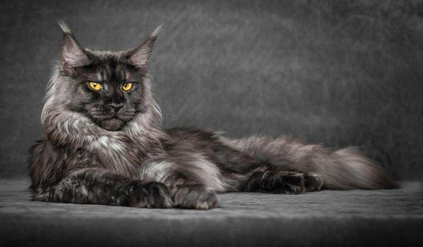 Мейн-кун: все о кошке, фото, описание породы, характер, цена