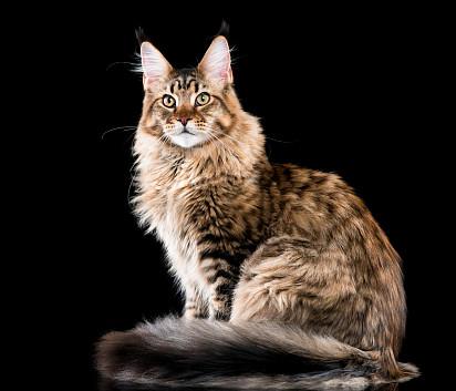 Kucing Maine Coon Kucing termahal di dunia