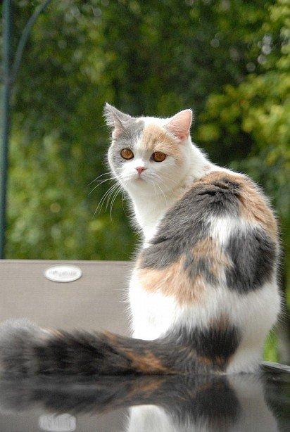 Kucing Lurus Skotlandia