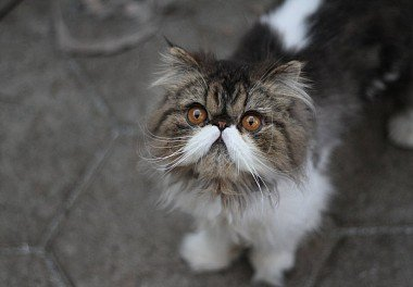 Персидская кошка Kucing persia