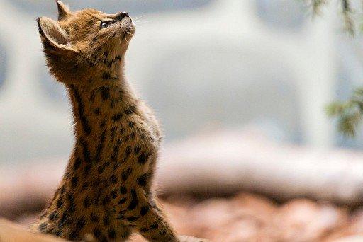 Kucing Savana (Asherah)