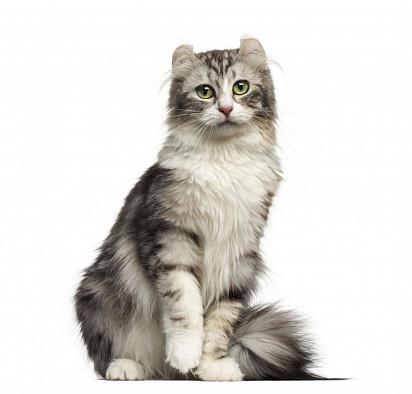 Kucing Keriting Amerika