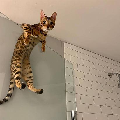 kucing bengal Kucing termahal di dunia