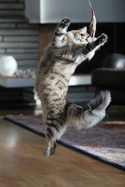 Сибирская кошка играет с хозяином