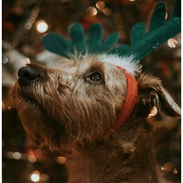 Ирландский терьер: все о собаке, фото, описание породы ...