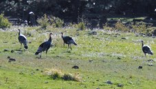 Wild turkeys nearby