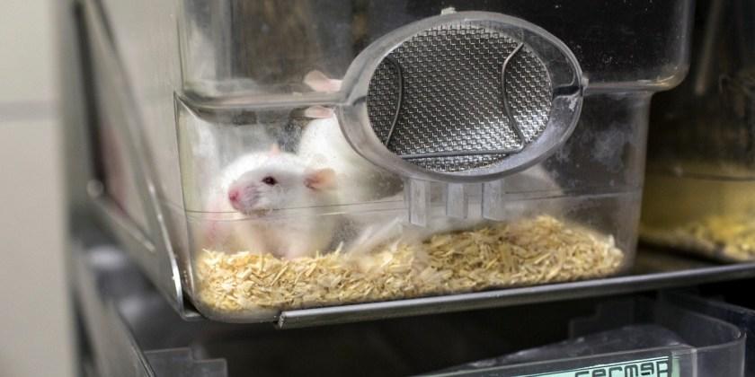 Une-souris-sterile-donne-naissance-a-des-souriceaux-grace-a-des-ovaires-imprimes-en-3D