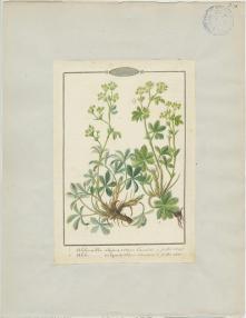 J-B Barla (1817-1896), Alchemilla vulgaris et Alchemilla alpina, 1840, Muséum d'Histoire naturelle de Nice, dessiné d'après le spécimen collecté le 6 juillet 1840, Forêt de la Maïris (Lantosque, France)