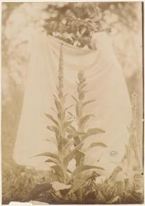 Bouillon blanc, 1900, photographie, collection Eugène Atget (copyright Bibliothèque des Arts décoratifs)
