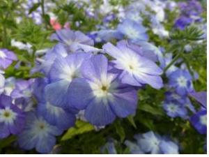 "Phlox bleu, Phlox drummondii, ""Lavender beauty""©Chiltern Seeds"