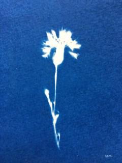 Bleuet, fleur (Centaurea cyanus, Asteraceae) cyanotype, 10,5x8cm, collection particulière ©GLSG
