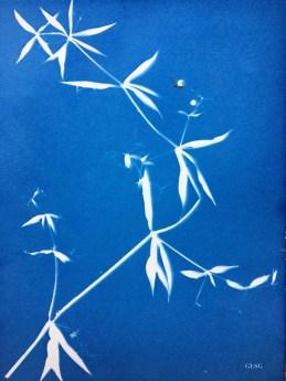 Garance voyageuse (Rubia peregrina, Rubiaceae) cyanotype, 24x32cm ©GLSG