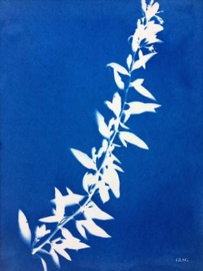 Goji (Lycium barbarum, Solanaceae) cyanotype, 24x32cm ©GLSG