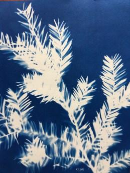 If commun (Taxus baccata, Taxaceae) cyanotype, 24x32cm ©GLSG