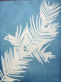 Pin japonais à queue de vache (Cephalotaxus harringtonia, Cephalotaxaceae) cyanotype, 24x32cm ©GLSG