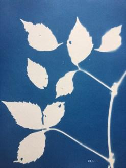Vigne vierge de Virginie (Parthenocissus quinquefolia, Vitaceae) cyanotype, 24x32cm ©GLSG