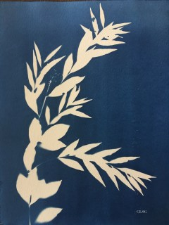 Amsonie orientale (Rhazya orientalis, Apocynaceae) cyanotype, 24x32cm ©GLSG
