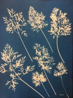 Carotte, feuilles (Daucus carota, Apiaceae) cyanotype, 24x32cm ©GLSG