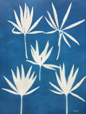 Hellébore (Helleborus niger, Ranunculaceae) cyanotype, 12x15cm ©GLSG