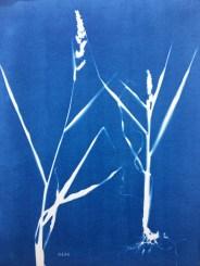 Panic Pied-de-Coq (Echinochloa crus-galli, Poaceae) cyanotype, 24x32cm ©GLSG