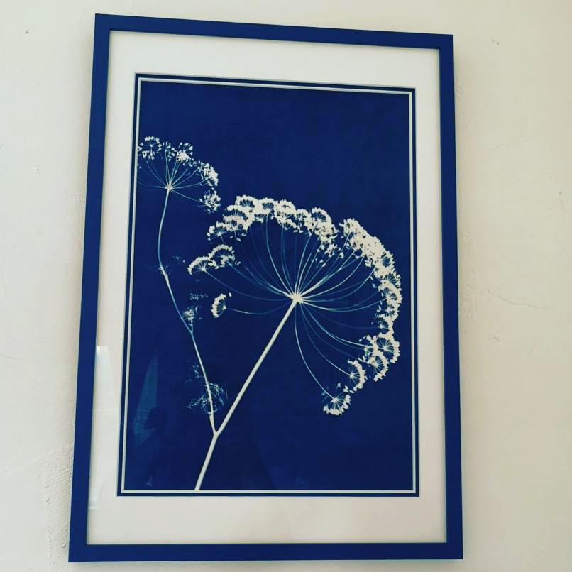 Sceptre d'Ombellules (Anethum graveolens, Apiaceae) cyanotype, 30x41.5cm, 2019, collection M. d'A. ©GLSG