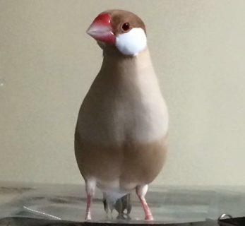 文鳥が大好きな私がもう一度文鳥を飼いたいワケ