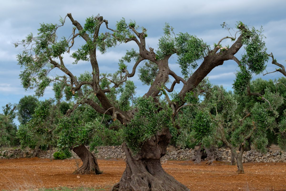 Olivo en Apulia