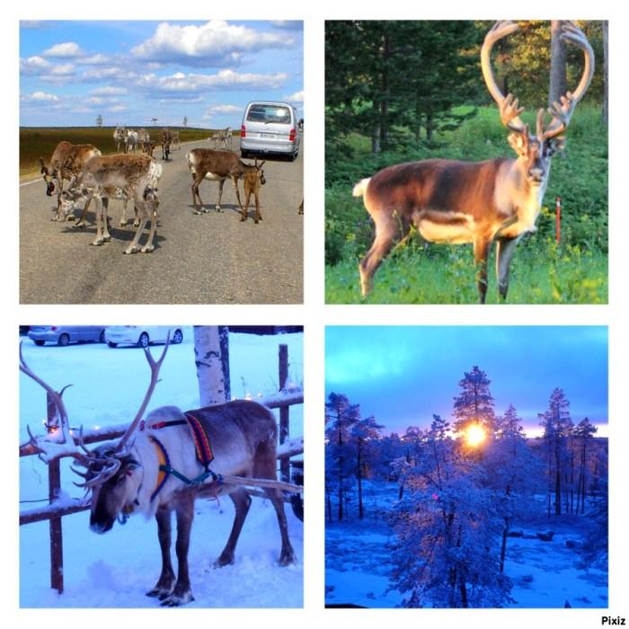 Le renne, animal emblématique de Laponie