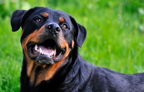 Il proprietario di casa lo sfratta e lui gli lascia nell'appartamento... il suo Rottweiler