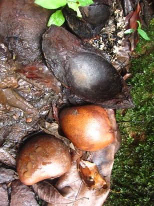 Semilla del árbol Carapa Grandiflora