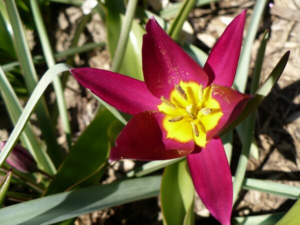 Early variety of tulip, April 17, 2009.