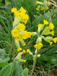 Cowslips at LaRabine