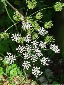 Berce du Caucase - Giant hogweed (7)