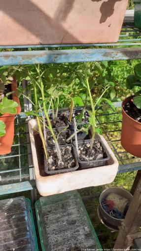 Plantes de tomates_Tomato plants (2)