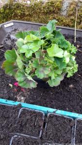 Propagating geraniums 9