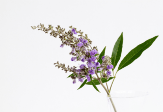 Vitex or chastetree for period problems.